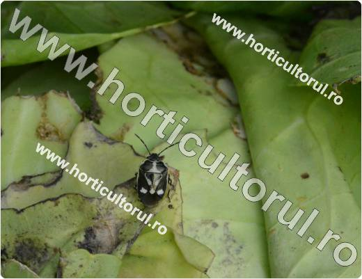 Eurydema oleraceum