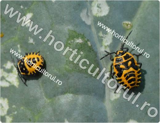 Plosnita rosie a verzei (Eurydema ornatum)