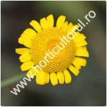Romanita-Anthemis tinctoria