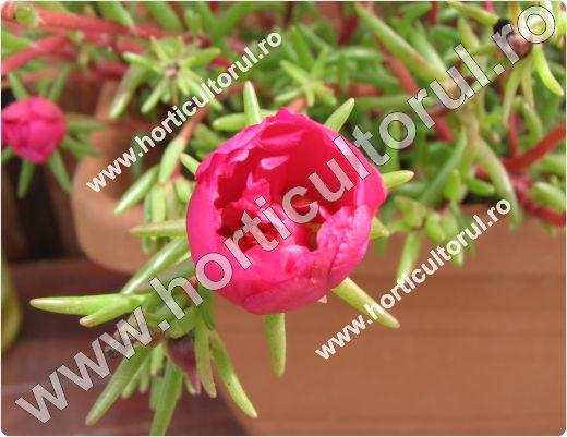 Flori de piatra (Portulaca grandiflora)