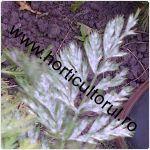 fainarea morcovului-Erysiphe umbelliferarum