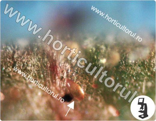 Acarianul-Paianjenul lat (Polyphagotarsonemus latus)