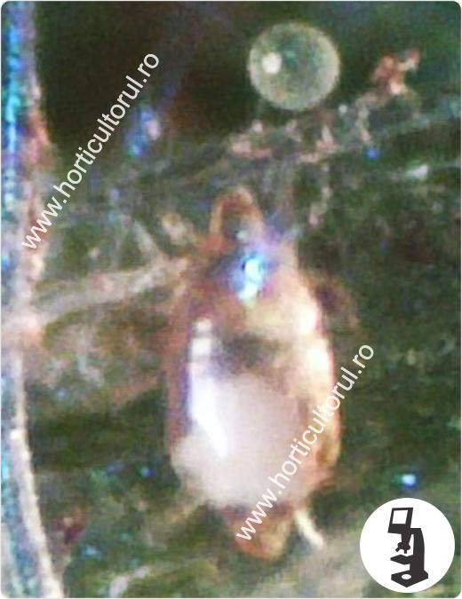 Fig. 1 Acarianul - Paianjenul lat (Polyphagotarsonemus latus), pe vinete