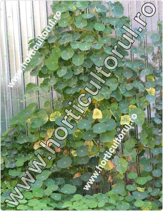 Fig. 1 Conduras (Tropaeolum majus)