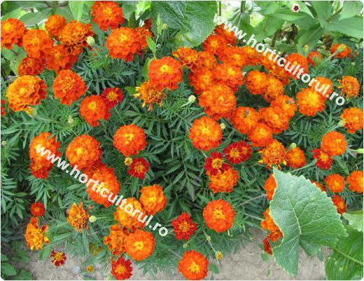 Fig. 1 Craitele (Tagetes patula)