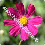 Mararite-Cosmos bipinnatus