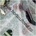 Antracnoza cucurbitaceelor-Colletotrichum lagen