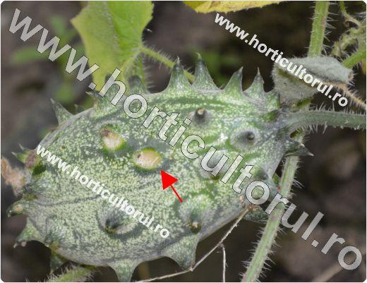 Antracnoza la Kiwano (Colletotrichum lagenarium)