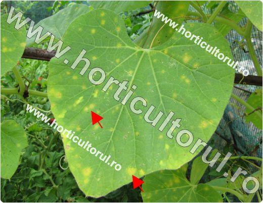 Antracnoza la tigva (Colletotrichum lagenarium)