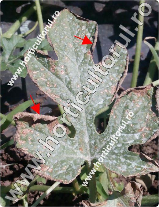 Antracnoza la pepenele verde (Colletotrichum lagenarium)