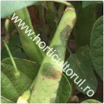 Arsura bacteriana a fasolei-Xanthomonas campestris pv