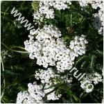 Coada soricelului-Achillea millefolium