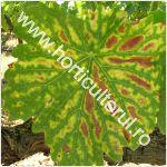 Esca-Apoplexia vitei de vie-Stereum hirsutum