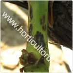 Excorioza vitei de vie-Phomopsis viticola