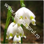 Ghiocelul bogat-Leucojum vernum