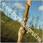 Uscarea tulpinilor de zmeur-Didymella applanata