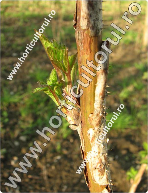 Uscarea tulpinilor de zmeur  (Didymella applanata)