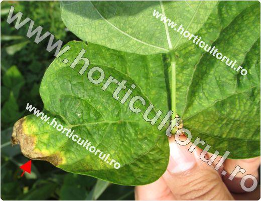 Arsura bacteriana a fasolei (Xanthomonas campestris pv. phaseoli)