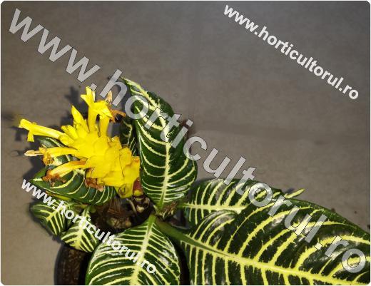 Planta zebra (Aphelandra squarrosa)