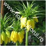 Coroana imperiala a Pastelui-Fritillaria imperialis