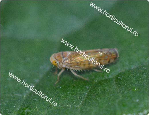 Cicada flavescentei aurii (Scaphoideus titanus)