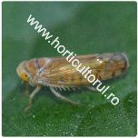 Cicada flavescentei aurii-Scaphoideus titanus