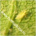 Cicada verde a vitei de vie-Empoasca vitis