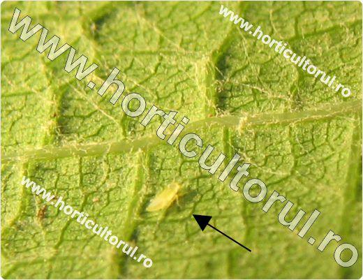 Cicada verde a vitei de vie (Empoasca vitis)