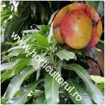 Mango-Mangifera indica_1