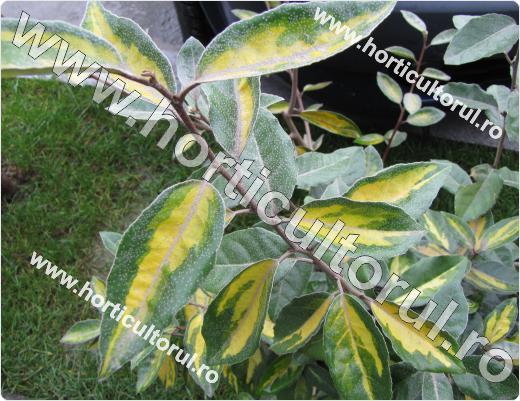 Maslinul rusesc (Elaeagnus pungens Maculata)