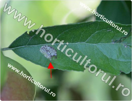 Minatorul marmorat-Phyllonorycter blancardella