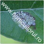 Minierul marmorat-Phyllonorycter blancardella