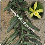 Orhideea de vanilie-Vanilla planifolia