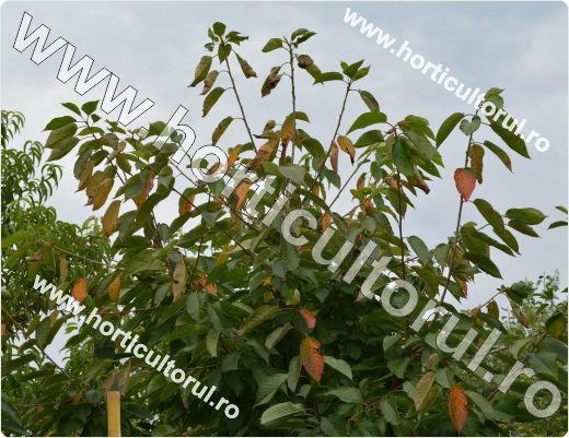Patarea rosietica a frunzelor de cires-Blumeriella jaapii