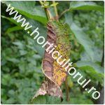 Patarea rosietica a frunzelor de cires si visin -Blumeriella jaapii