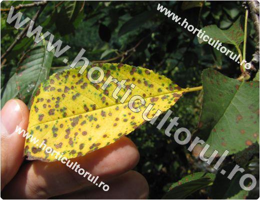 Patarea rosietica a frunzelor de visin -Blumeriella jaapii