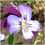 Trei frati patati-Viola tricolor_150