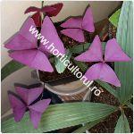 Trifoiul purpuriu-ornamental-Oxalis triangularis