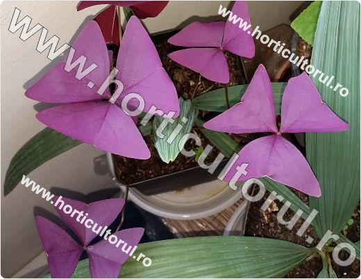 Trifoiul purpuriu-ornamental-Oxalis triangularis_2