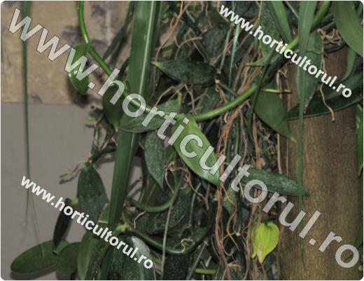 Orhideea de vanilie (Vanilla planifolia)