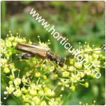 Croitorul pastarnacului-Phytoecia icterica