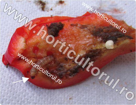 Sfredelitorul porumbului pe ardei (Ostrinia nubilalis)