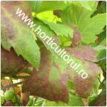 Flavescenta-Ingalbenirea aurie-flavescence dorée of grapevine