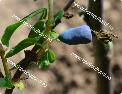 Afin Siberian-Lonicera kamtschatica-fruct1