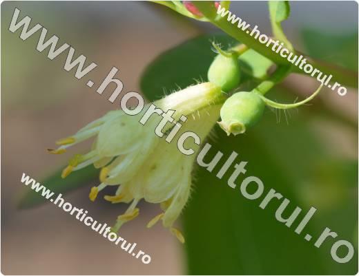 Boabe de miere-Lonicera kamtschatica