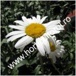 Margaretele_Leucanthemum vulgare