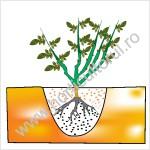 Plantarea trandafirilor acoperitori de sol