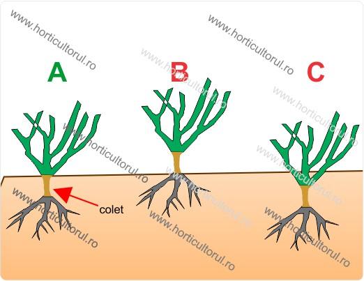 Fig. 1 Adancimea de plantare: A - Corect, B - Prea sus, C - Prea ingropat