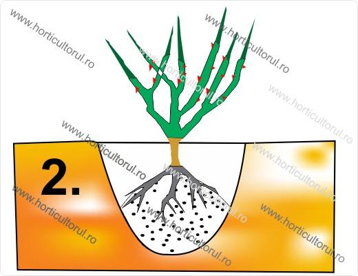 Fig. II  Pozitionarea radacinilor pe un musuroi