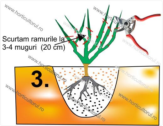 Fig. II  Plantarea si taierea/scurtarea ramurilor
